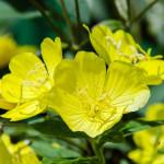 """Evening Primrose Oil – """"Vàng tươi"""" cho sắc đẹp phái nữ"""